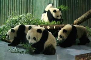 上海 万博 パンダ